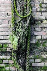 Alte bemooste und mit Gräsern bewachsene Taue / Leinen an der Ziegelwand einer Kaimauer im Hamburger Hafen.