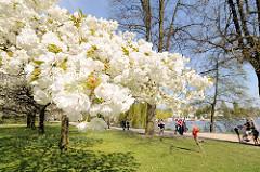 Bilder vom Hamburger Frühling - Kirschblüten an der Alster, Stadtteil Harvestehude - Spaziergänger am Ufer des Hamburger Binnensees.