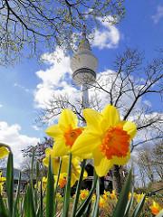 Blühende gelbe Narzissen in der Gartenanlage Planten und Blomen; Hamburger Fernsehturm / Telemichel.