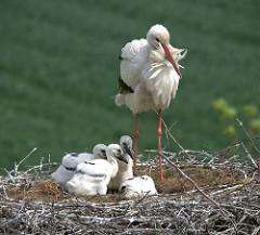 Storch mit vier Jungstörchen im Nest - Bilder aus dem Hamburger Stadtteil Curslack.
