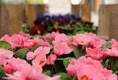 Primeln in einer Gärtnerei in Hamburg Ochsenwerder. Blumenzucht in den Hamburger Marschlanden.