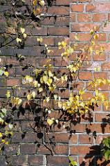 Industriebrache in Hamburg Billbrook - Billbrookdeich - Birken wachsen aus dem Mauerwerk.