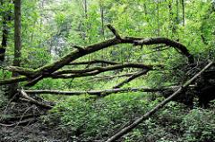 Naturbelassener Wald / umgestürzte Bäume am Lauf der Saselbek in Hamburg Bergstedt.