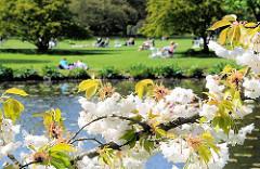 Japanische Zierkirschen blühen an der Alster  - Menschen sonnen sich auf der Wiese unter Bäumen.