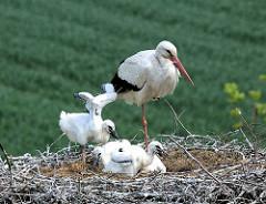 Einer der Jungstörche macht im Nest Flugübungen.