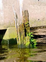 Bemooste Reste eines Holzdalbens im Hamburger Hafen - aus dem verwitterten Holz wachsen Grünpflanzen.
