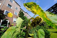 Blumen im Hinterhof - verblühte Sonnenblume - blühende Dahlien - Bilder aus dem Hamburger Stadtteil Wandsbek - Bezirk Wandsbek.