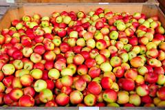 Kiste mit Äpfeln auf einem Apfelhof in Hamburg Finkenwerder - Apfelsorte GALA, eine Kreuzung zwischen Kidd`s Orange + Golden Delicious.
