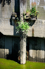 Alter Streichdalben / Holzdalben an einer Kaimauer im Hamburger Hafen; Baumstamm und Halterung sind mit blühendem Gräsern / Unkraut bewachsen.