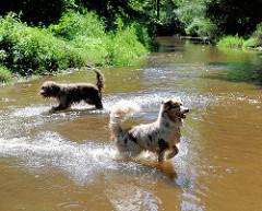 Hunde spielen bei warmen Wetter in der Alster - Naherholungsgebiet Oberalster, Gemeinde Tangstedt (Stormarn).