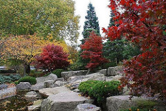 Japanischer Garten in Hamburg Planten un Blomen - der Zierahorn hat herbstlich rot gefärbte Blätter.