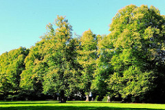 Bäume im Hirschpark - Lindenallee im ehem. Godeffroy Park.