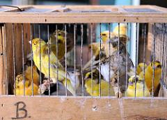 Verkauf von Singvögeln auf dem Hamburger Fischmarkt - in einem kleinen Käfig befindet sich eine grosse Anzahl von Kanarienvögeln.