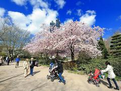 Frühlingsspaziergang in der Grünanlage Planten un Blomen im Hamburger Stadtteil St. Paule. Mütter mit Kinderkarren und Paare gehen in der Frühlingssonne unter blühenden Kirschen spazieren.