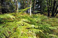 Dicht mit Farn bedeckter Boden im Hamburger Naturschutzgebiet Höltingbaum im Stadtteil Rahlstedt.