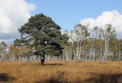 Kiefer auf einer Wiese - weisse Birkenstämme eines Birkenwaldes im Duvenstedter Brook.