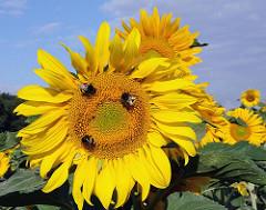 Feld mit blühenden Sonnenblumen - Landwirtschaft in Hamburg Ochsenwerder. Hummel sitzen auf einer Blüte.