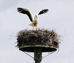 Jungstorch beim Flugversuch - mit weit ausgebreiteten Schwingen übt der grosse Vogel zu fliegen, da er schon ab Mitte August in sein Winterquartier nach Afrika fliegen wird.