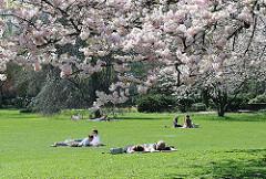 Liegewiese an der Aussenalster unter Kirschblüten