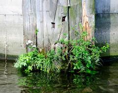 Holzdalben im Hamburger Hafen - die Wasserlinie ist vermodert / marode, blühendes Unkraut wächst aus dem Holz.