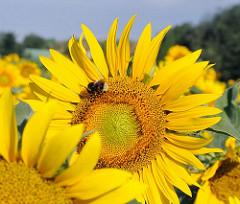 Blüten von Sonnenblumen auf einem Feld in Hamburg Ochsenwerder.