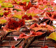 Herbstweinlaub an der Fassade der St. Annenkirche in Ochsenszoll, Stadtteil Hamburg Langenhorn.