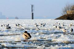 Wasservögel auf Eisschollen auf der Elbe bei Hamburg Othmarschen.