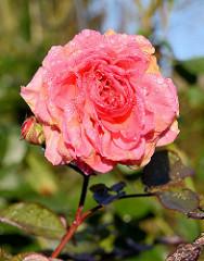 Rosenblüte mit Tauperlen, Morgentau im Hamburger Stadtpark - Rosengarten.