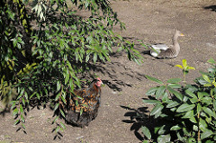Bäuerliche Impressionen mit Hühnern und Enten beim BAhrenfelder Marktplatz