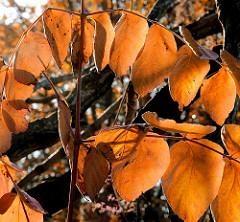 Braun gefärbte Herbstblätter - Strauch im Stadtpark von Hamburg Winterhude.