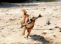 Ein Hund hat einen Ast auf dem Sand des ehem. Hafenbeckens im Rothenburgsorter Haken aufgenommen und rennt damit.