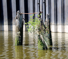 Eiserne Spundwand mit Resten von Holzdalben - die Pfähle sind teilweise  mit Grünpflanzen bewachsen - Relikte / Überbleibsel vom alten Hamburger Hafen.