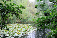 Seerosen auf dem Raakmoorteich - Schilf wächst am Ufer des ehem. Karpfenteichs im Hamburger Naturschutzgebiet Raakmoor.
