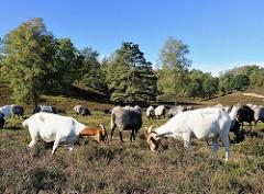 Die Schafe und Ziegen halten die Heidelandschaft kurz und fressen nachwachsende Kiefern und Birken in der Fischbeker Heide.