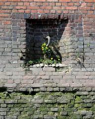 Alte Kaimauer im Hamburger Hafen; eingelassener Eisenring zum Vertäuen von Schiffen. Im Ziegelmauerwerk wächst aus den Mauerfugen Wildkraut / Löwenzahn.