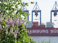 Frühling am Hamburger Hafenrand - blühender Flieder im Garten von Oevelgoenne - Krananlagen; Frachtschiff der Reederei Hamburg Süd.