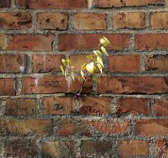Ziegelmauer / Kaimauer im Hamburger Hafen; aus einer Mauerritze wächst eine junge Birke.