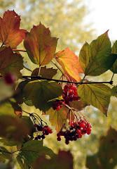 Herbstfrüchte und Herbstblätter im Wohldorfer Wald