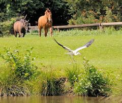 Pferde auf einer Weide am Ufer der Dove-Elbe; ein Weissstorch setzt zum Abflug an. Fotos aus dem Hamburger Stadtteil Allermöhe.