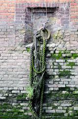 Alte bemooste und mit Gräsern bewachsene Taue / Leinen an der Ziegelwand einer Kaimauer im Hamburger Hafen -Reste einer Anlegestelle mit Eisenring.