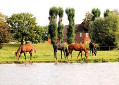 Pferdeherde auf einer Wiese am Ufer der Doveelbe in Hamburg Allermöhe - im Hintergrund ein Wohnhaus.