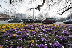 "Krokusblüte im Frühling - Verkehrsinsel Strasse ""An der Alster"" - vorbeifahrende Autos."