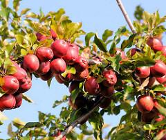 Apfelbaum mit roten Äpfeln - der Zweig des Fruchtbaumes ist dicht mit den Äpfeln bedeckt - Bilder aus dem Hamburger Bezirk Bergedorf, Stadtteil Allermöhe.