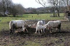 Bilder aus dem Stadtteil Osdorf - Kühe an der Futterkrippe - Wiese.