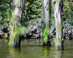 Alte Holzdalben in einem Kanal in Hamburg Steinwerder - Gras wächst aus dem Holz.