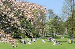 Kirschblüte in Hamburg - Liegewiese mit Holzstühlen an der Alster in der Sonne.