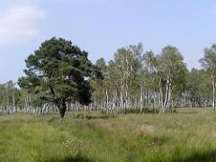 Wiese mit Birken und Kiefer im Duvenstedter Brook.