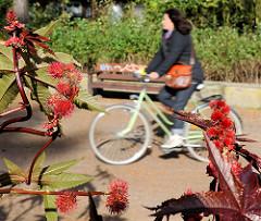 Rote stachelige Früchte der Rizinuspflanze am Eingang zum Stadtpark in Hamburg Winterhude - Fahrradfahrerin in Fahrt auf dem Parkweg.