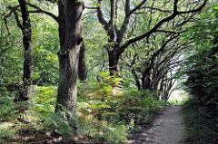 Alte knorrige Eichen am Wegesrand im Naturschutzgebiet Höltingbaum - alte Eichenbäume - Bilder aus Hamburger Erholungsgebieten.