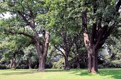 Alte Eichen mit dicken Stämmen stehen auf einer Rasenfläche in Schröders Elbpark an der Elbchausse von Hamburg Othmarschen.